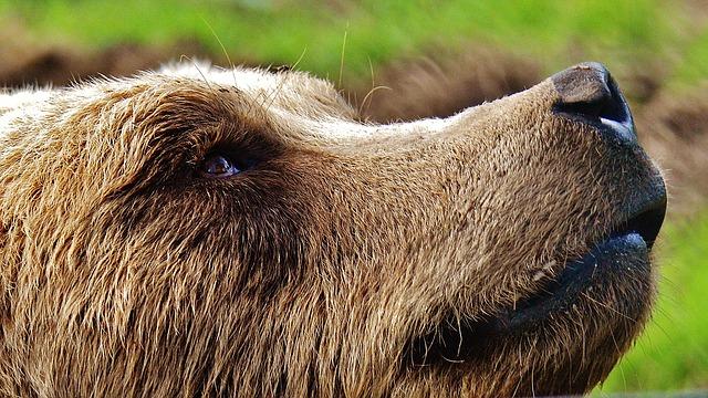 european brown bear snout