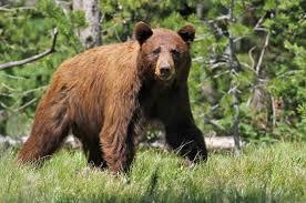Desolation Wilderness Bear Activity... - U.S. Forest Service - Lake Tahoe  Basin Management Unit | Facebook