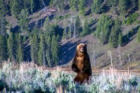 Yellowstone National Park Bear Photos ~ Yellowstone Up Close and Personal